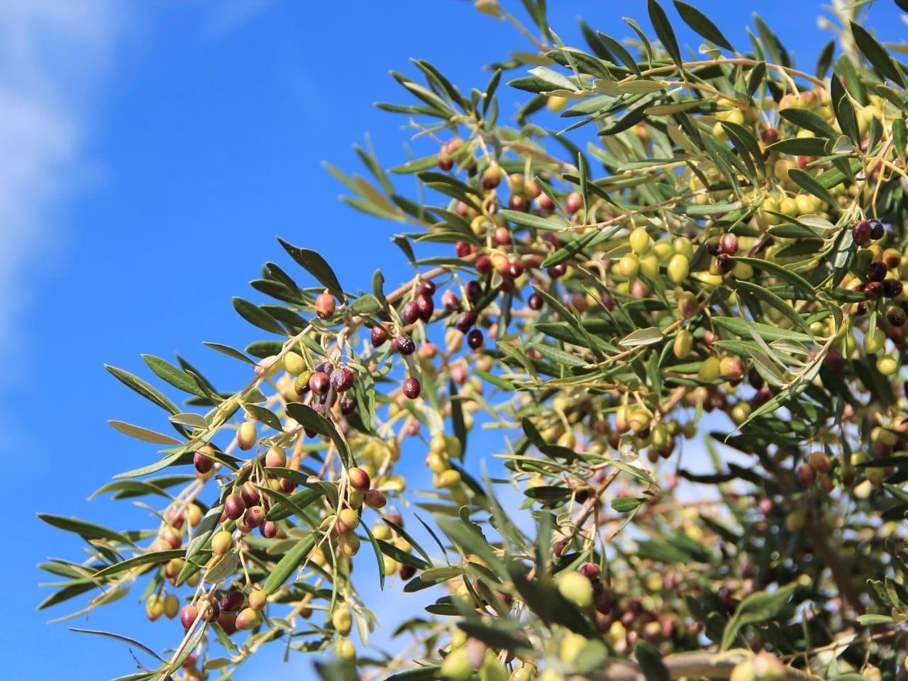 Best Olive Oil Tasting Tour In Crete