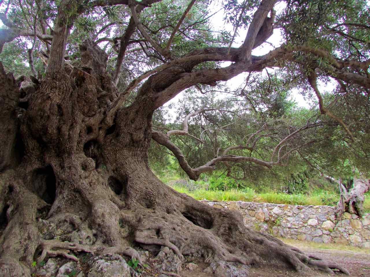 Walking Tour & Visiting Ancient Olive Tree Kavousi Crete, azoria ancient city crete, kavousi village activities, crete alternative activities, things to do crete, ancient olive tree greece europe, trekking Natura landscape, archeological site of Azorias, visiting old kafenio crete