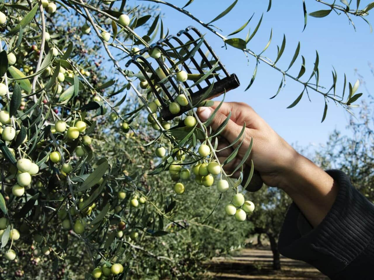 Olive Oil Tasting Tours at Pallada Mill, chania olive oil tasting tours, tasting extra virgin olive oil chania crete, activities chania crete, best organic olive oil tasting tour chania, cretan olive oil activity, things to do chania crete