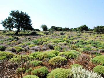 CreteTravel,East Crete,Wild Herbs Of Crete In Sitia Region - Use In Medicine & Gastronomy