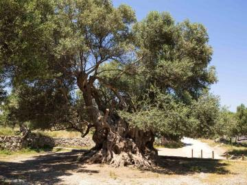CreteTravel,East Crete,Walking Tour & Visiting The Ancient Olive Tree In Kavousi